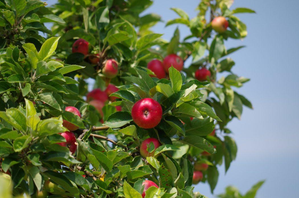 Landelijke Appelplukdag